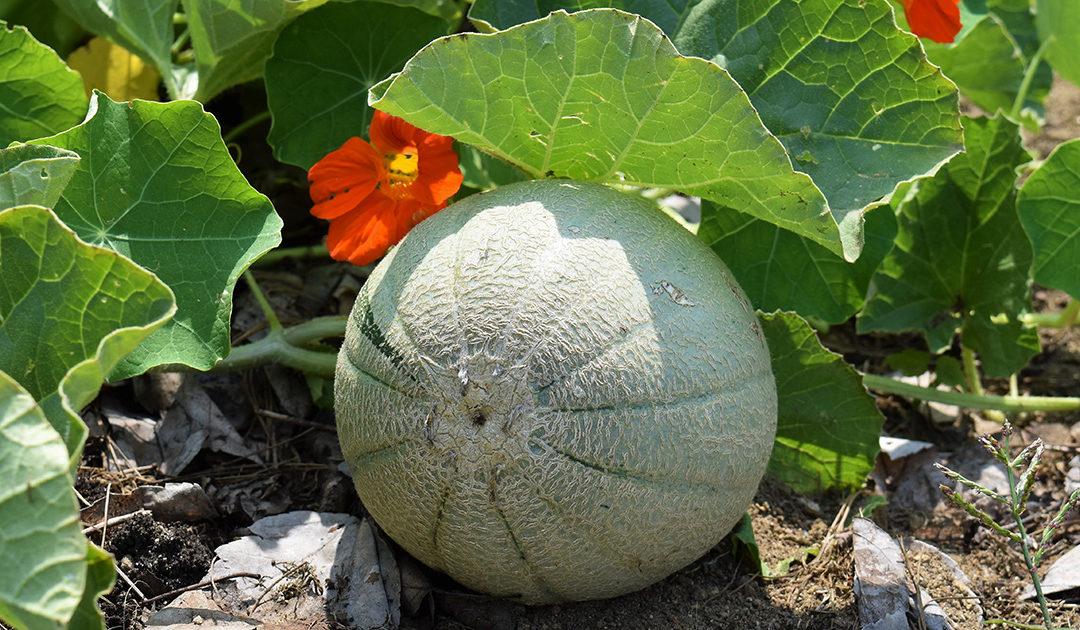 Research Report: Fertilgold® 3-2-4 and Micros I Liquid Fertilizers Increase Organic Cantaloupe Yield 120%